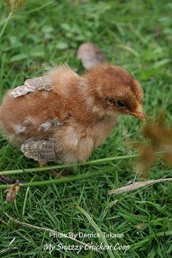 chickongrass
