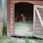 hen-on-nest