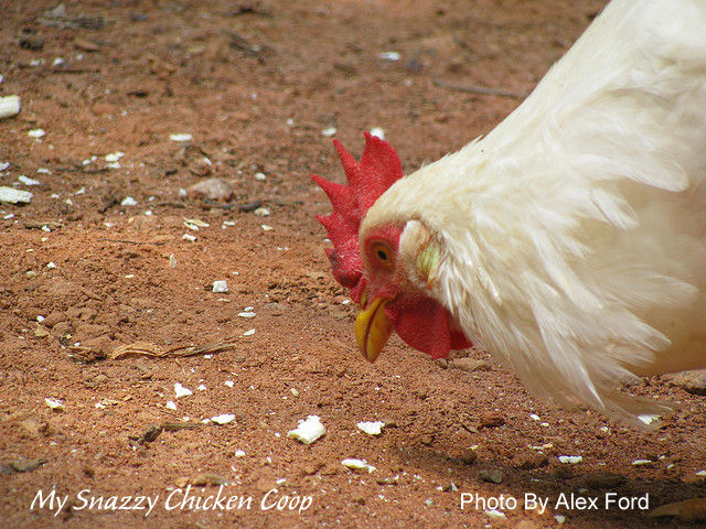 Why Do Chickens Peck Each Others Feathers
